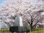 天童桜まつり