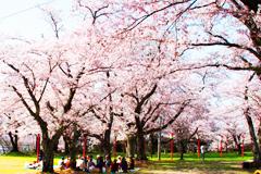 楯山公園 桜まつり
