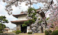 松山歴史公園の桜