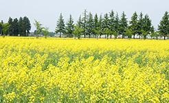 エコロジーガーデンの菜の花