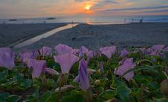 昼顔の咲く海岸