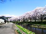 中山河川公園桜まつり