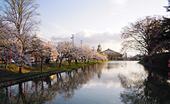 最上公園の桜